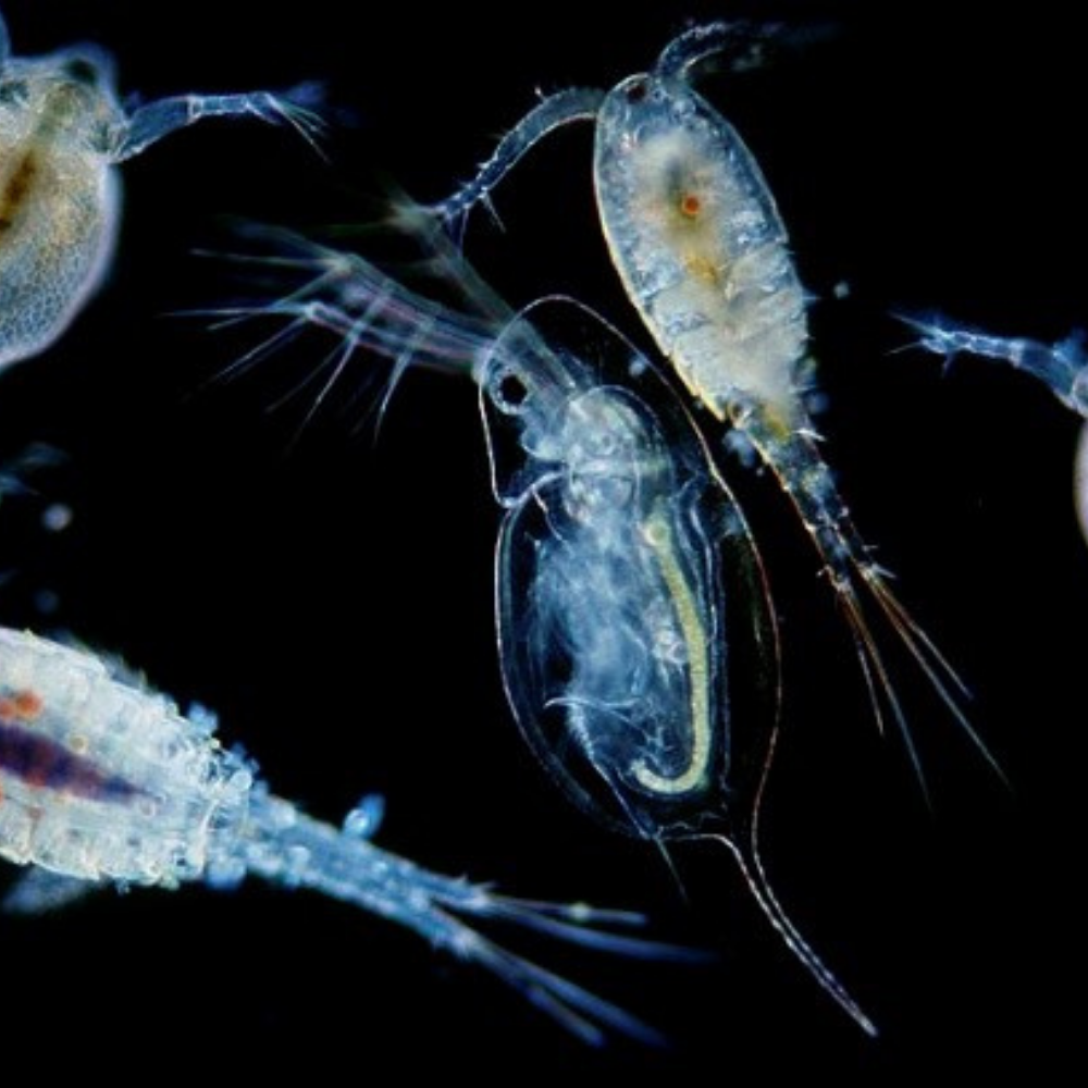 Virtual Science Pub: Zooplankton - Defenders of Water Quality