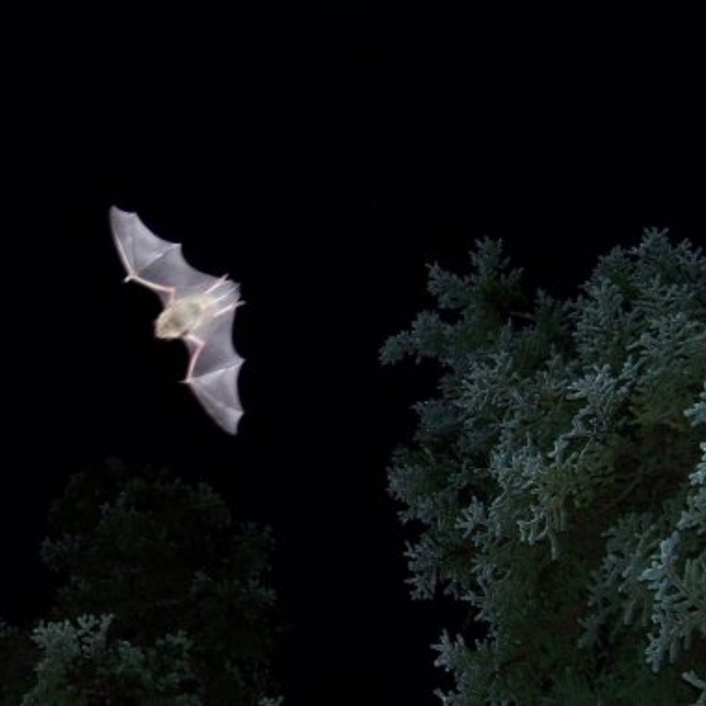 Virtual Science Pub: Nocturnal Neighbors - New Hampshire's Bats
